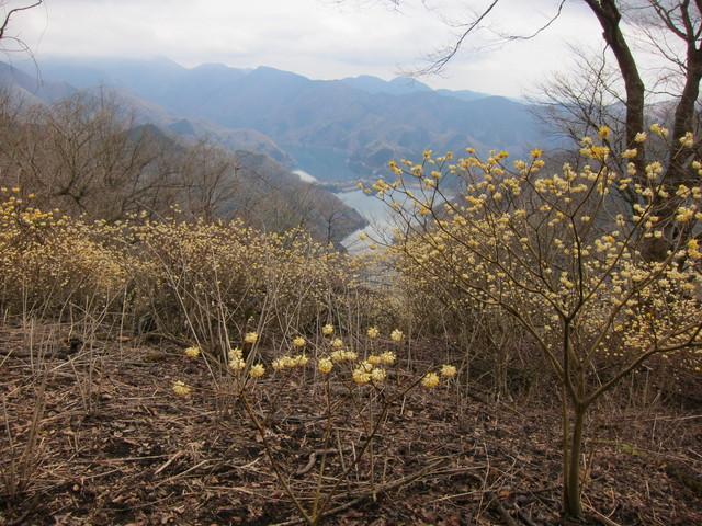 C:\Users\miyahara\Desktop\機関誌作成\四季原稿16年5月\1_ミツバ岳_ミツマタの花と丹沢湖.png