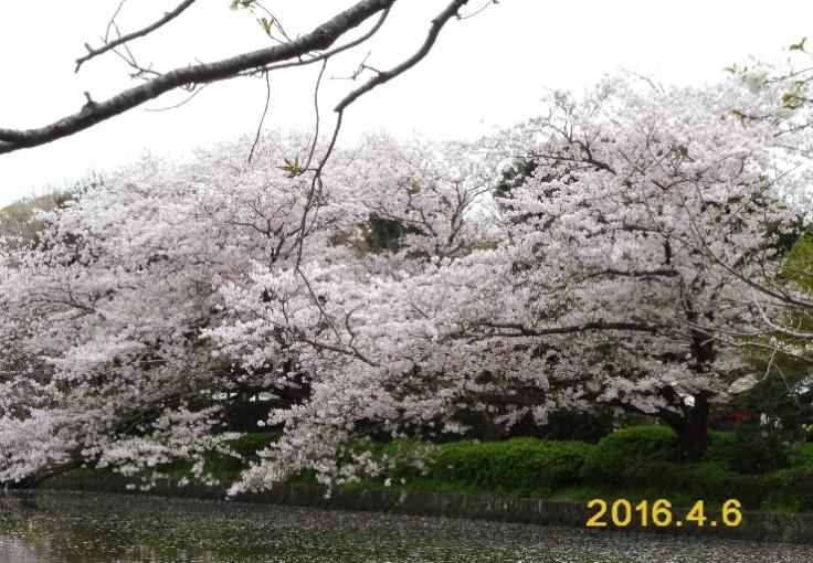 P1010694 八幡宮源氏池の桜