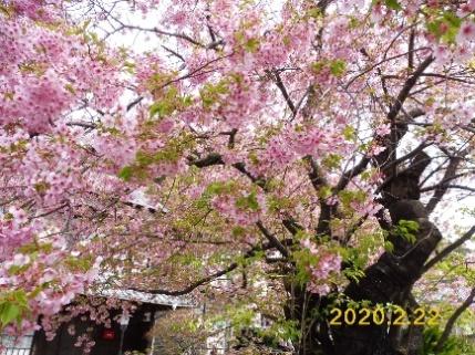 9.P1070185 河津桜原木